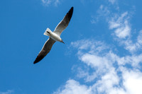 Seagull in the Sky Photo by John A. Ferrante