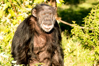Chimpanzee Smiling Photo By John A. Ferrante