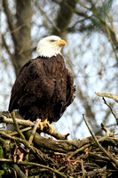 Bald Eagle in Nest Photo by John A. Ferrante
