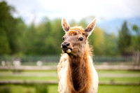 Llama Photo by John A. Ferrante