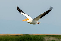 Pelican Bird in Flight Photo by John A. Ferrante