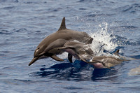 Baby Spinner Dolphin Photo by John A. Ferrante
