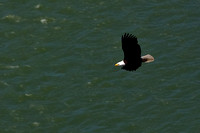 American Bald Eagle in Flight Photo By John A. Ferrante
