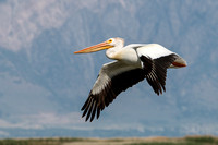 Pelican in Flight by John A. Ferrante